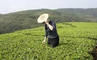 Белый чай снижает или повышает давление