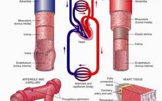 Давление в венозных сосудах