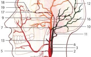 Вены шеи анатомия